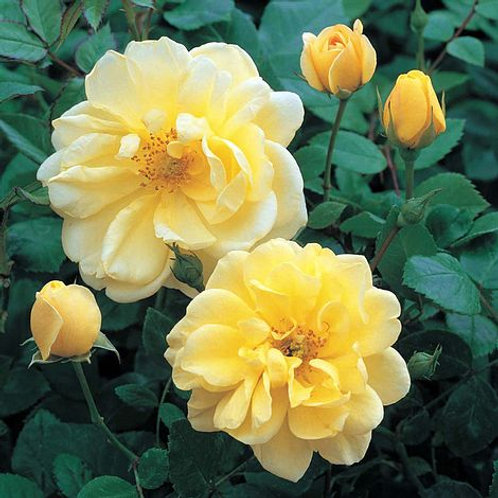 Rose 'Golden memories'