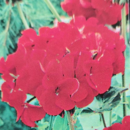 Geranium scarlet 6pk