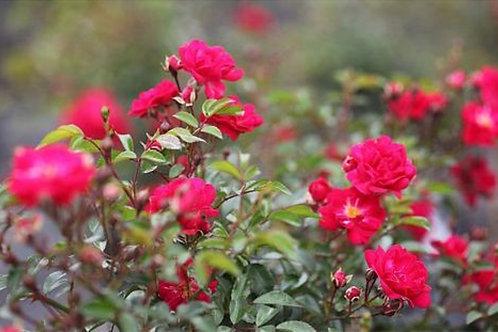 Rose 'fairy queen' - Floribunda