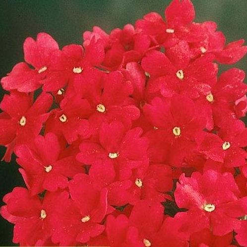 Verbena Bush deep Rose 6pk
