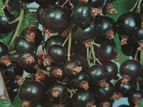 Blackcurrant bush
