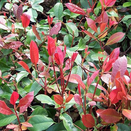 Photinia x fraseri 'Red Robin' 100-120cm