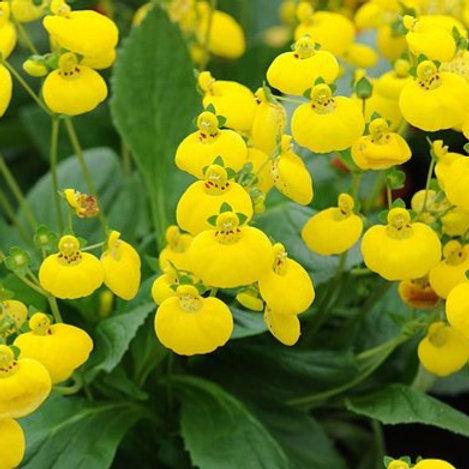 Calceolaria Yellow 6pk