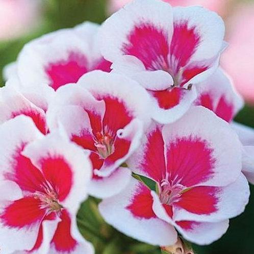 Geranium 'Flower Fairy White Splash' 14cm