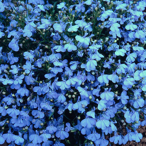 lobelia bush cambridge blue 10pk