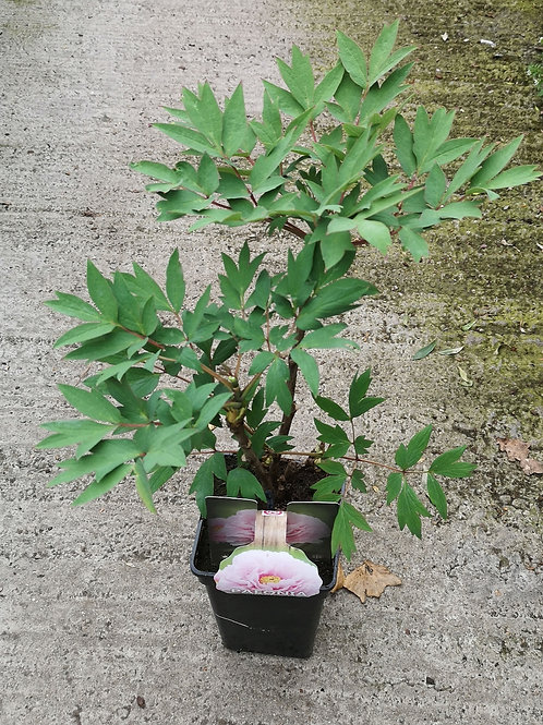 Tree peony- pale pink