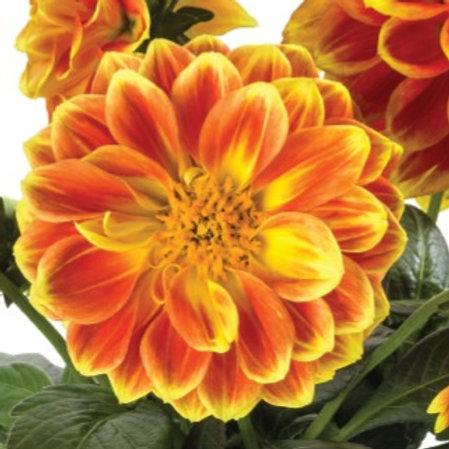 Micro Dahlia Orange Flame