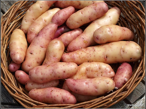Seed Potato 'Pink Fir Apple'