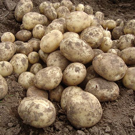 Seed potatoes 'Gemson'