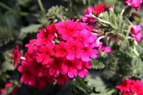 Verbena Hot Rose