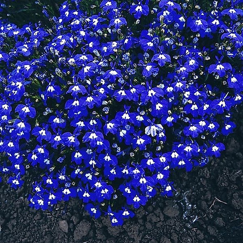Lobelia bush Mrs Clibran 10pk
