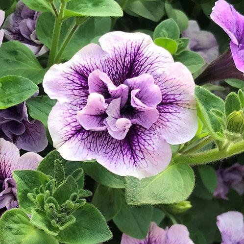 Surfinia Double Violet Vein