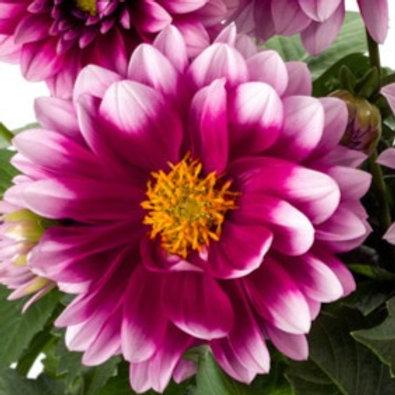 Micro Dahlia Pink Blush