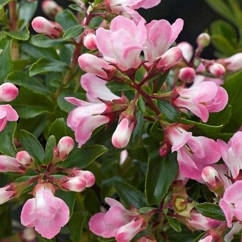 Escallonia AppleBlossom