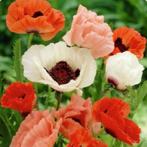 Papaver Orientale 'Pizzicato mix' ( ornamental poppy)