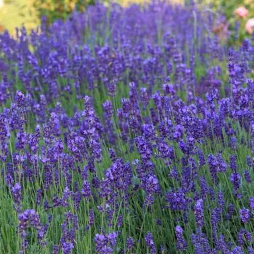 English lavender 2L