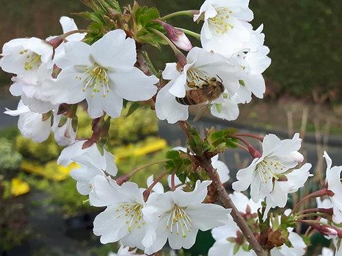 Prunus 'Brilliant' standard