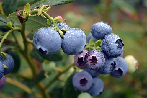 Blueberry 'Jersey'