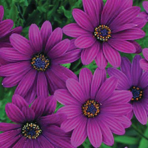 Osteospermum Deep Purple