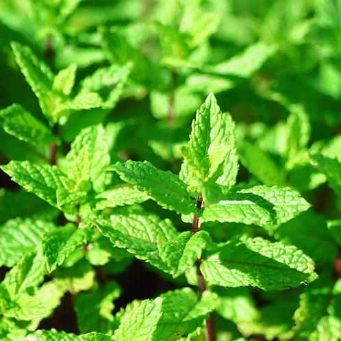 Garden mint small