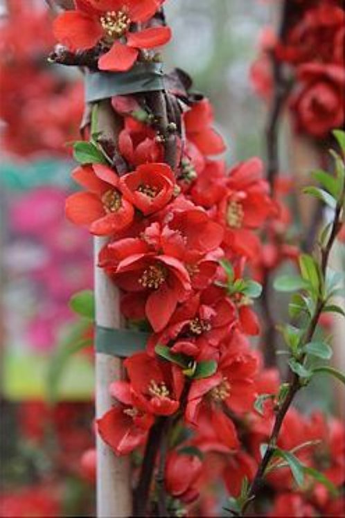 Chaenomeles Red