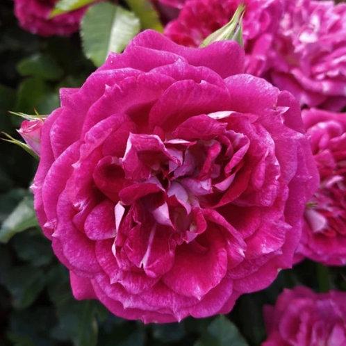 Rose 'let's celebrate'