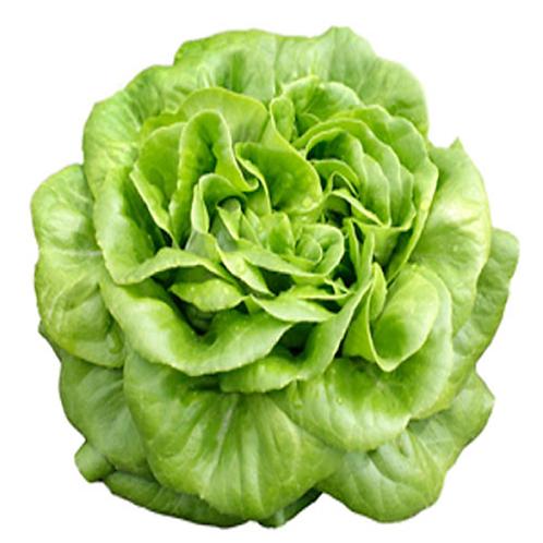 Lettuce- Butterhead