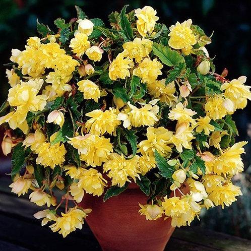 Trailing Begonia Yellow