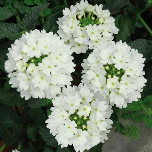Verbena white