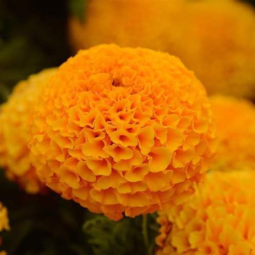 African marigold orange 6pk