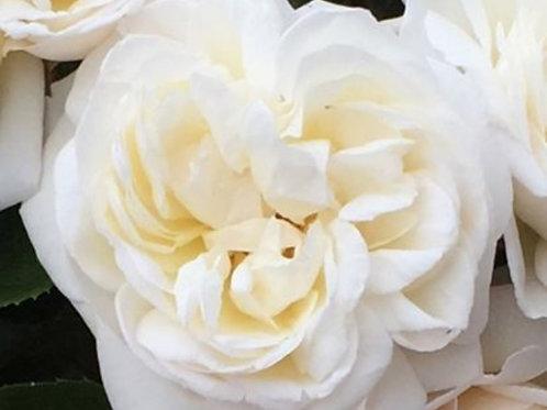 Rose 'white gold'