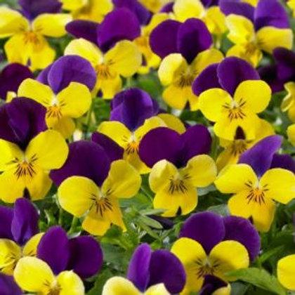 Summer flowering Viola yellow/purple wing 6pk