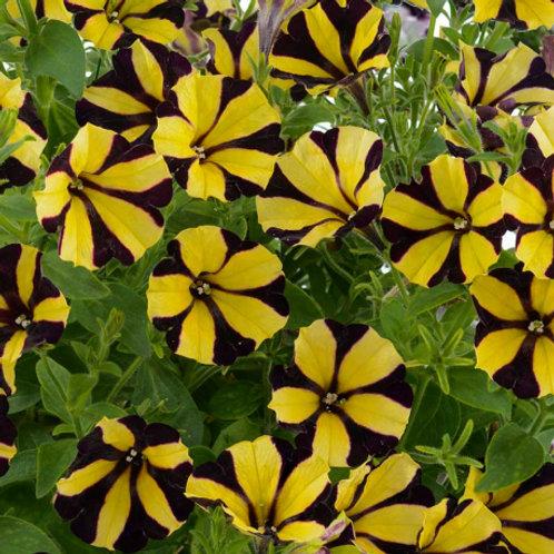 Surfinia Sunflower Ray