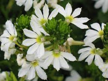scaevola whirlwind white