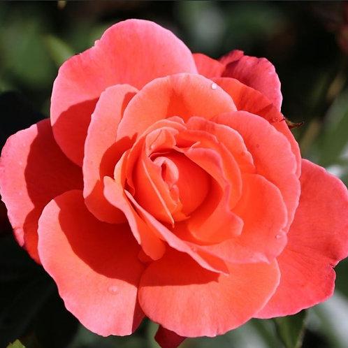 Rose 'Happy Anniversary'