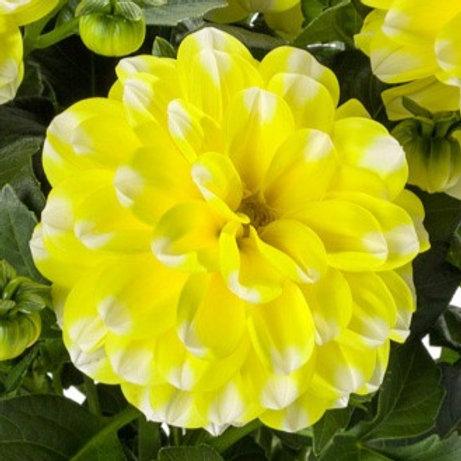 Micro Dahlia Yellow Picotee