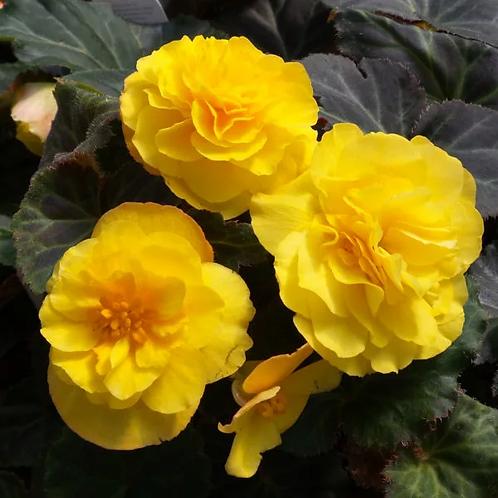 Non-stop Begonia Mocca Yellow
