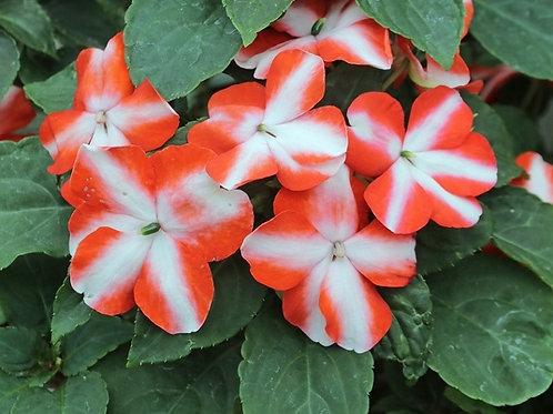 Impatiens orange star 6pk