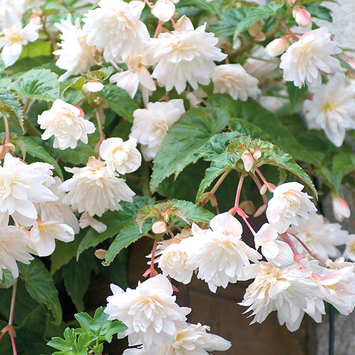 Trailing White Begonia