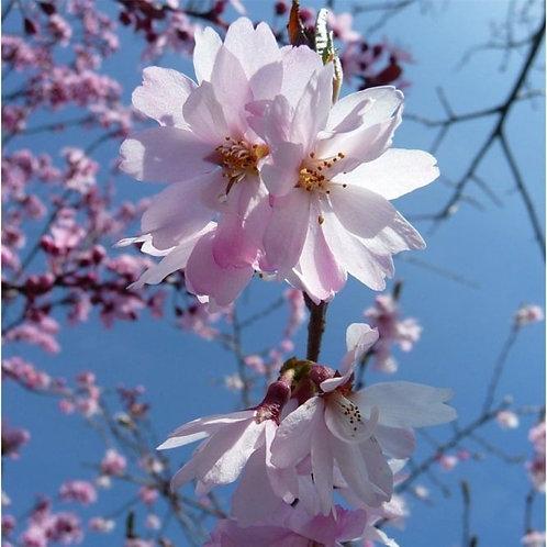 Prunus 'Autumnalis Rosea' standard