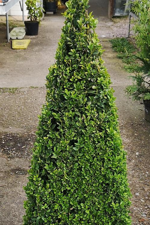 Pyramid Topiary Buxus