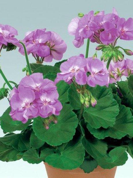 Geranium Blue Wonder- Large 14cm pot