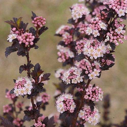 Physocarpus tiny wine - 3L pot