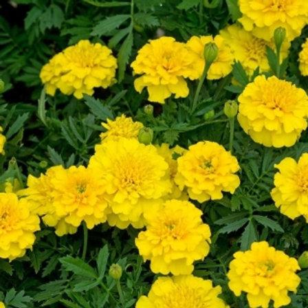 French marigold yellow 10pk