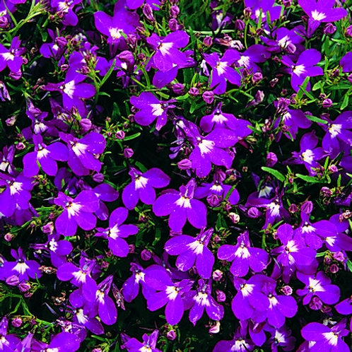 Lobelia bush crystal Palace 10pk