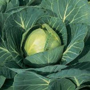 Cabbage- round
