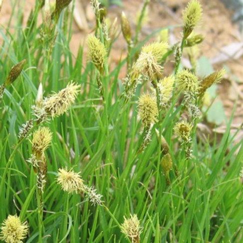 Carex 'The Beatles'