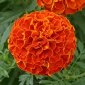 Triploid marigold Red 6pk