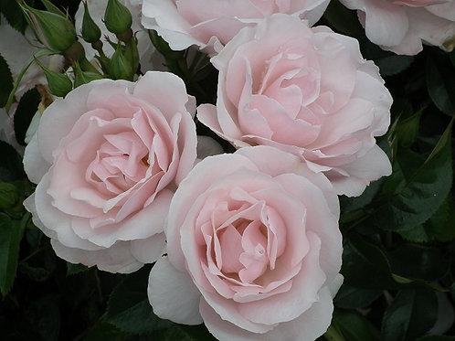 Rose 'Many happy returns'