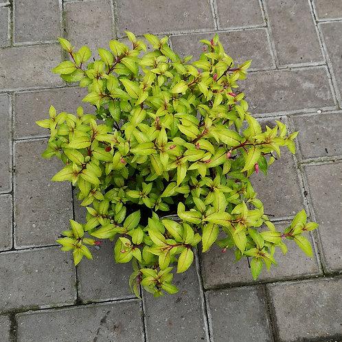 Hardy Fuchsia 'Genii' - 3L